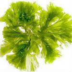 Alge marine