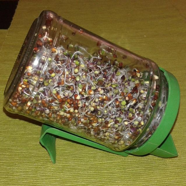borcan cu seminte germinate